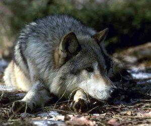 В Крыму планируют сократить численность волков втрое