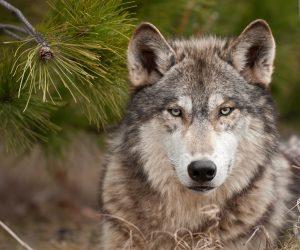 В Крыму от нападения волков пострадали три человека