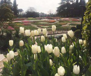 1 апреля в Никитском ботаническом саду стартует виртуальный Парад тюльпанов